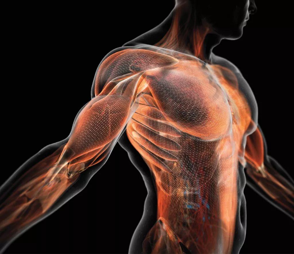 Изменения в мышечных волокнах под влиянием различных тренировочных воздействий